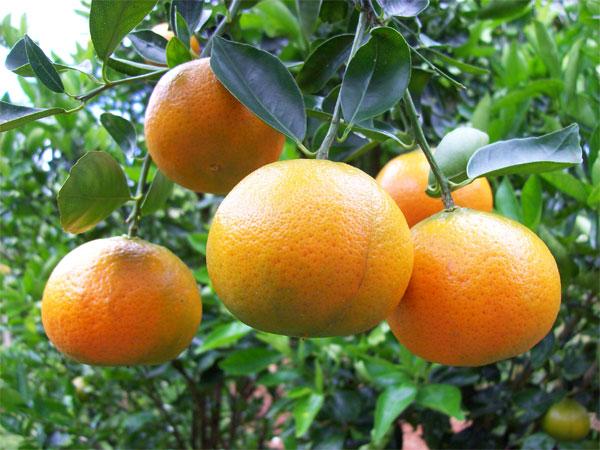 tangerine-tree.jpg